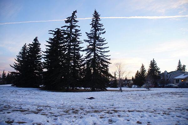 對面漂亮的空地,雪地與聖誕樹,很純粹的風景,加拿大卡加利