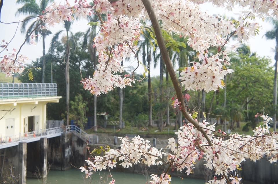 平地櫻花,花旗木