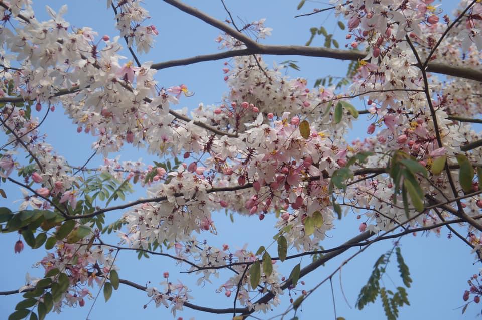 三月櫻(花旗木)盛開中
