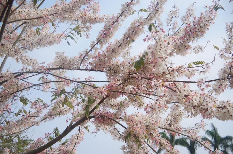 三月櫻-花旗木,盛開中