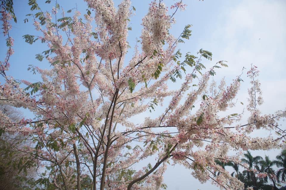 三月櫻。桃紅陣雨花,平地櫻花