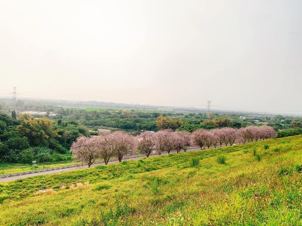 台南烏山頭水庫櫻花