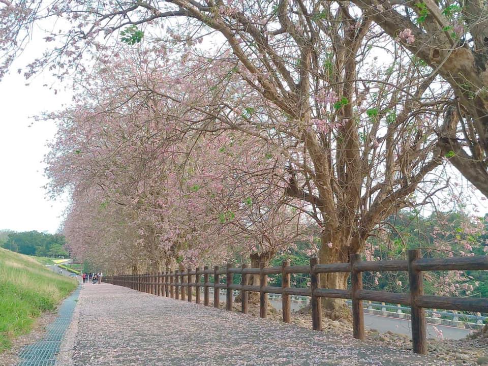 落櫻繽紛的香榭大道