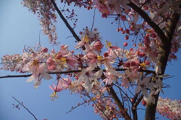 花旗木三月櫻