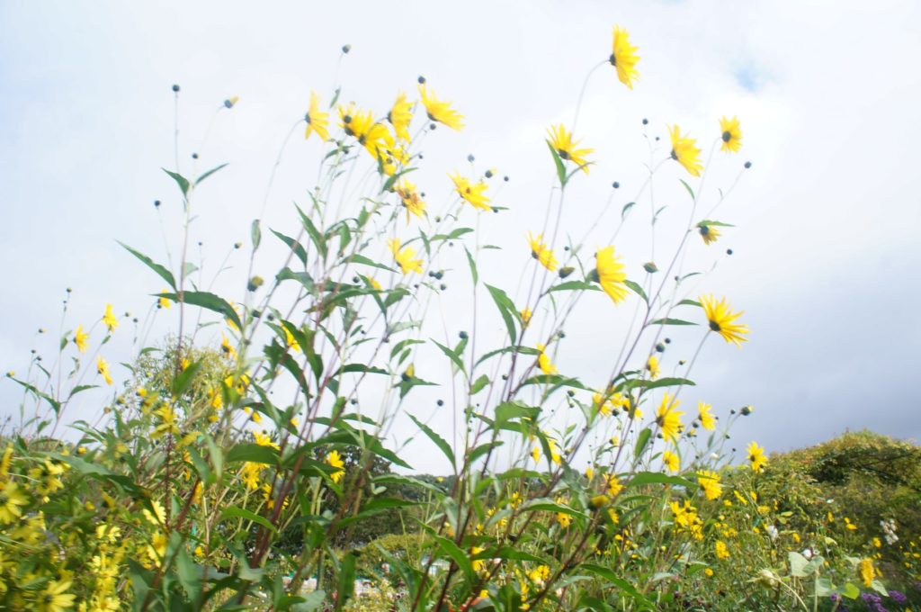 莫內花園盛開的花朵
