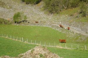 可愛的Flam沿途風景,超可愛的牛。