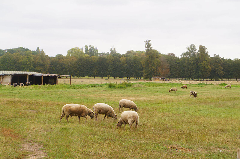 凡爾賽宮的另一處有羊!