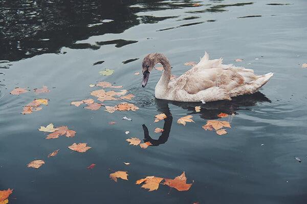 阿波羅噴泉池畔,可愛的小灰天鵝與水面上的楓葉。