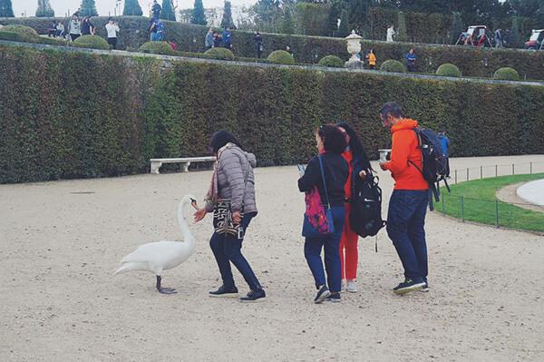 完全不怕人的白天鵝!好誇張