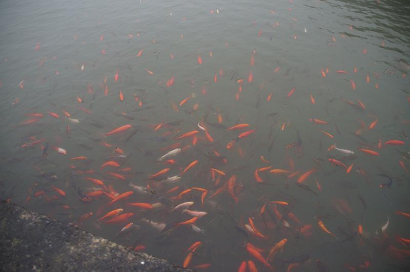 抹茶山小池塘的眾多鯉魚們