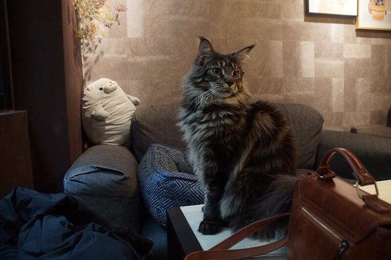 真的很帥又很溫馴的芝麻貓貓