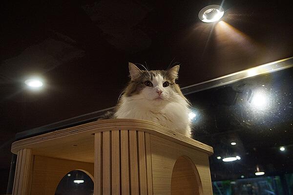 回到貓窩上方的喵喵棉花糖