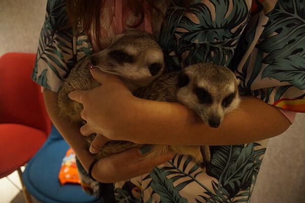 進入狐獴區之前,店員會抱著他們,跟大家解說