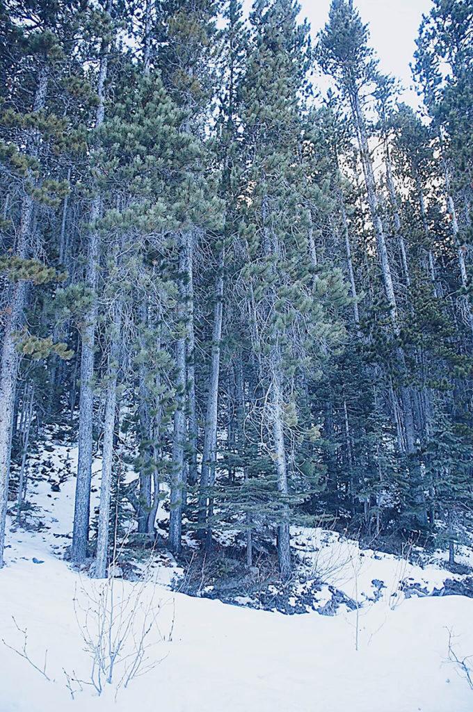 綠色森林、白色雪景,非常漂亮Grassi Lakes trail.