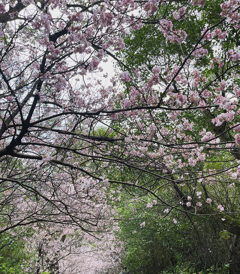 站在石階上拍出來的漫天櫻花。