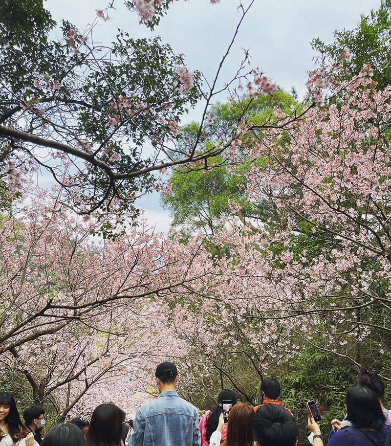 大年初五的碧山巖賞櫻人潮。
