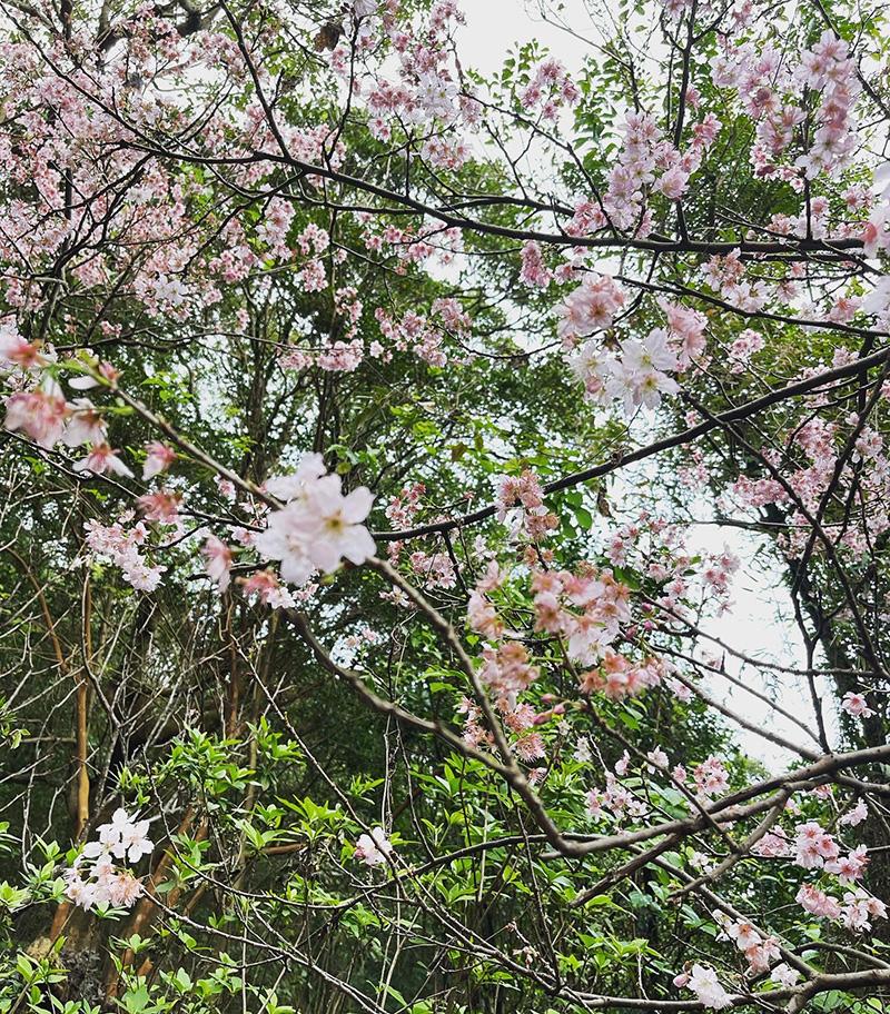 碧山巖櫻花步道。