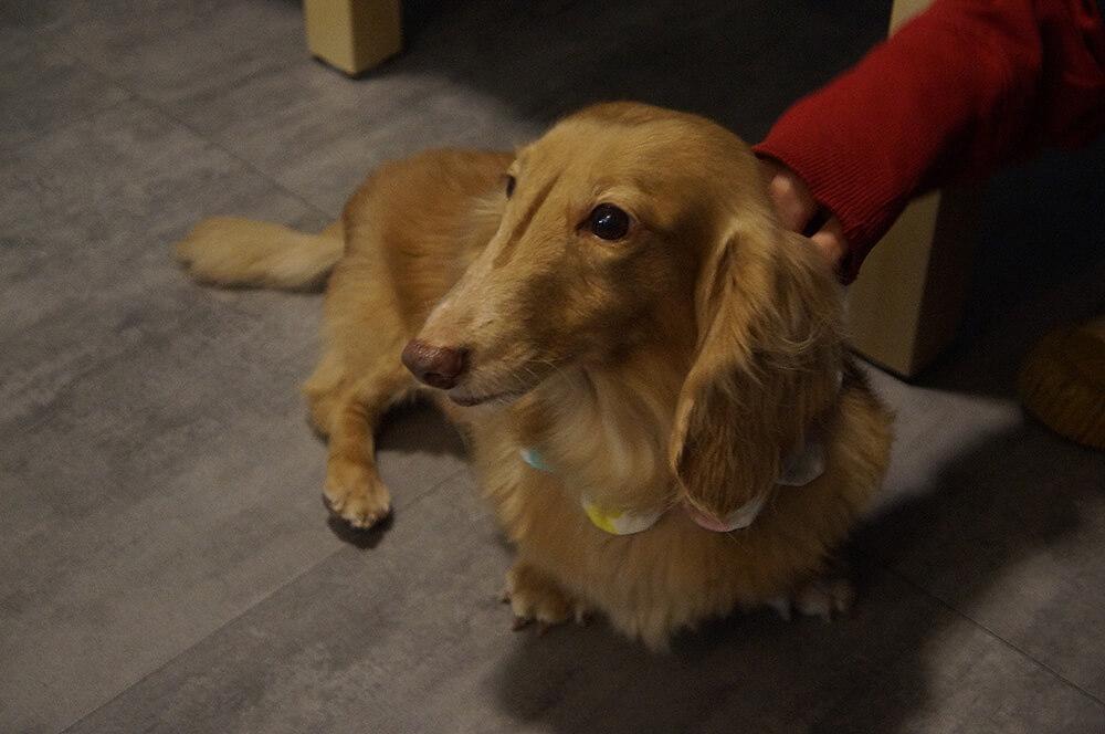 可愛腿腿特寫來一張!超可愛的奶茶色臘腸狗狗。