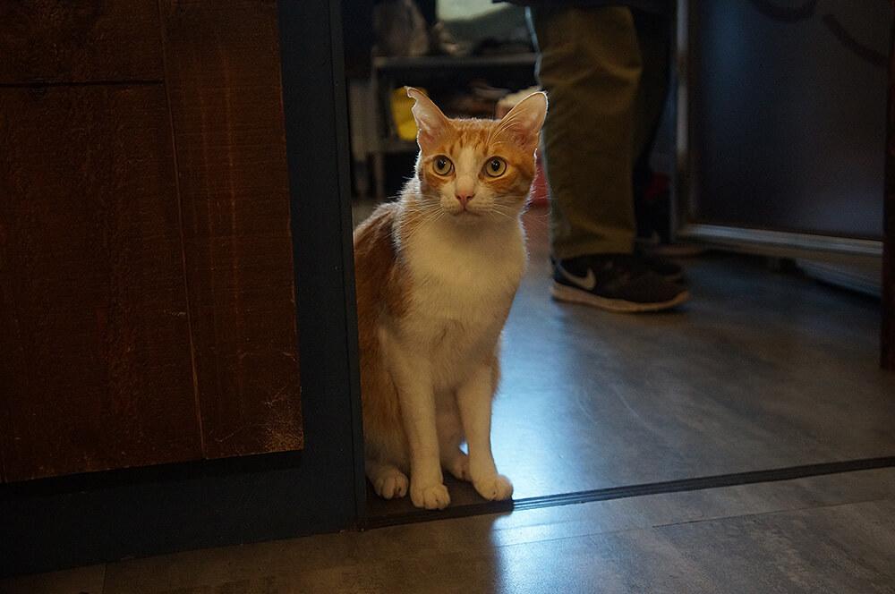 萌萌不怕人,長腿優雅小橘貓。