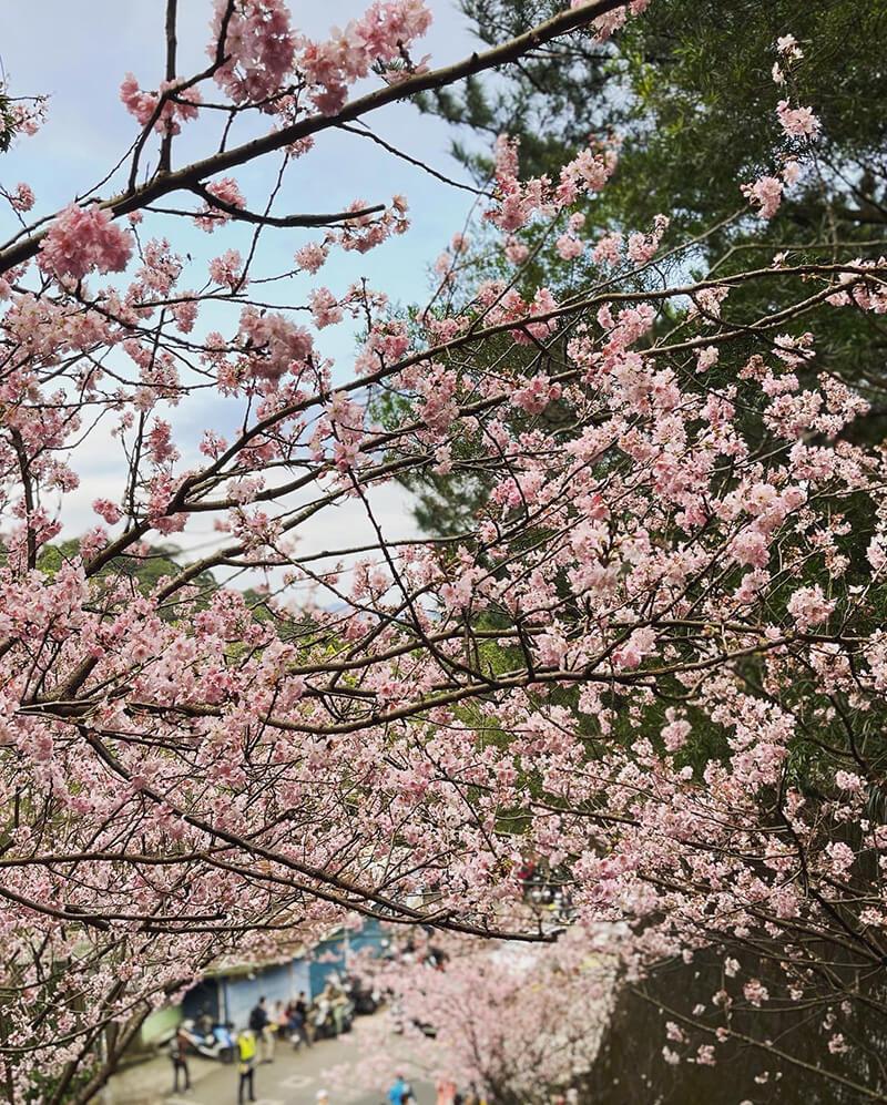 非常漂亮的碧山巖粉色櫻花!