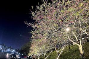 台北內湖夜櫻季,八重櫻。