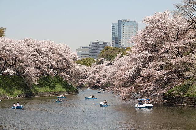 櫻花盛開千鳥之淵