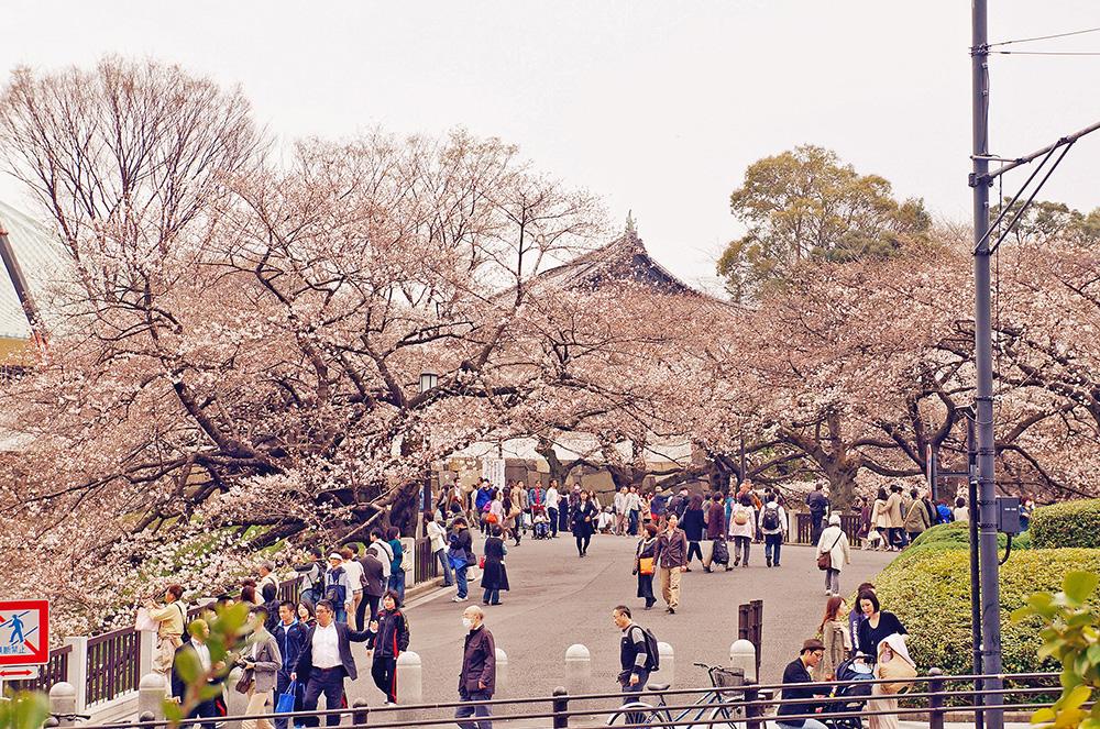 下午前往靖國神社的人潮,武道館(北之丸公園)前方櫻花。