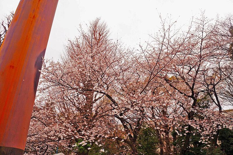 參道兩旁櫻花盛開中~~