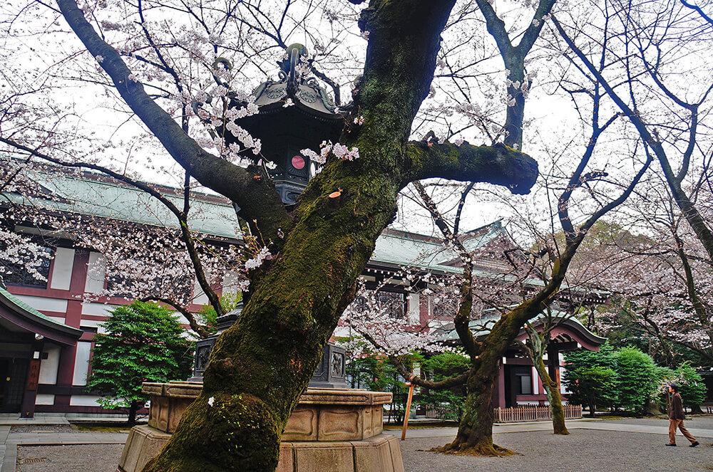 點點白色櫻花,襯著典雅的建築拍起來才會醒目!