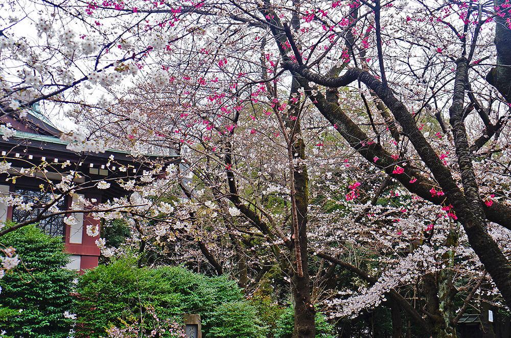 好美,點點盛開的日本櫻。