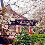 迪士尼東京之旅巧遇櫻花