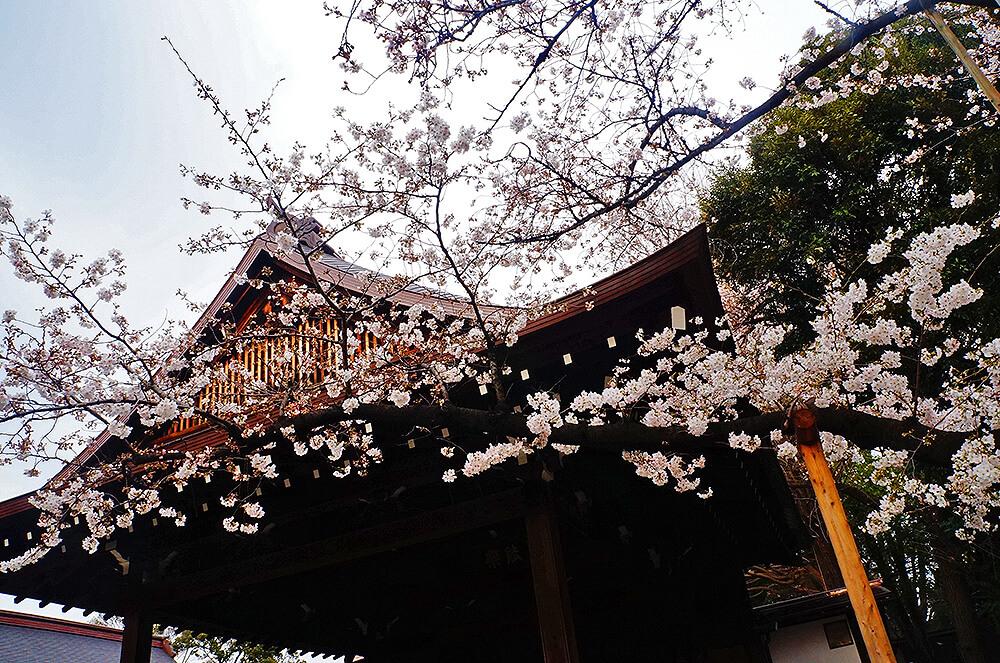 春櫻綻放的靖國神社