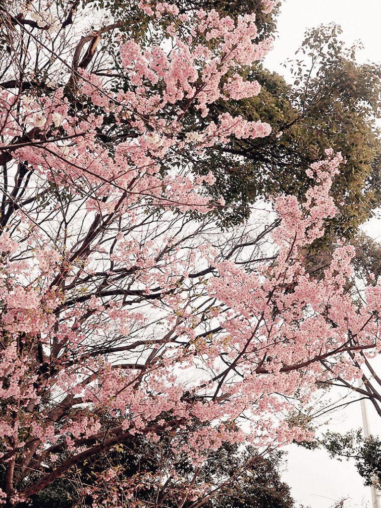 粉嫩櫻花開滿天。