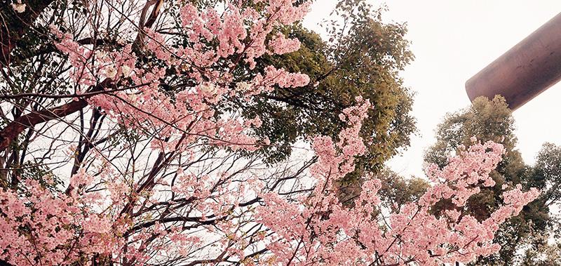 美麗的櫻花與鳥居。