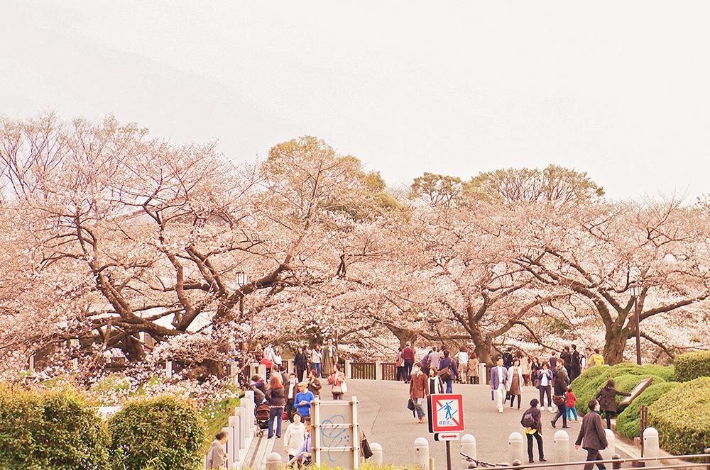 靖國神社櫻花道起點-武道館前方櫻花林。