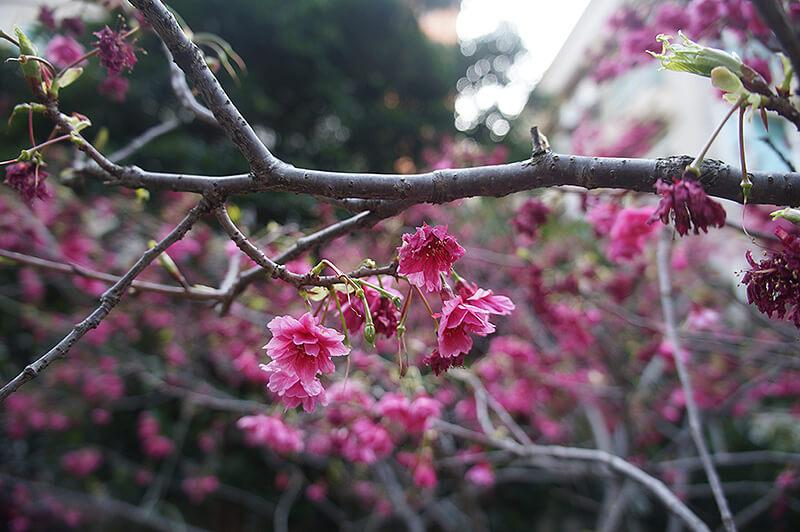 近拍美美的櫻花。
