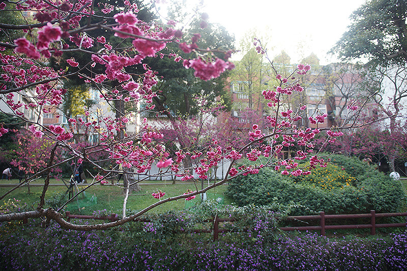 搭配後方紫色花朵遠景。