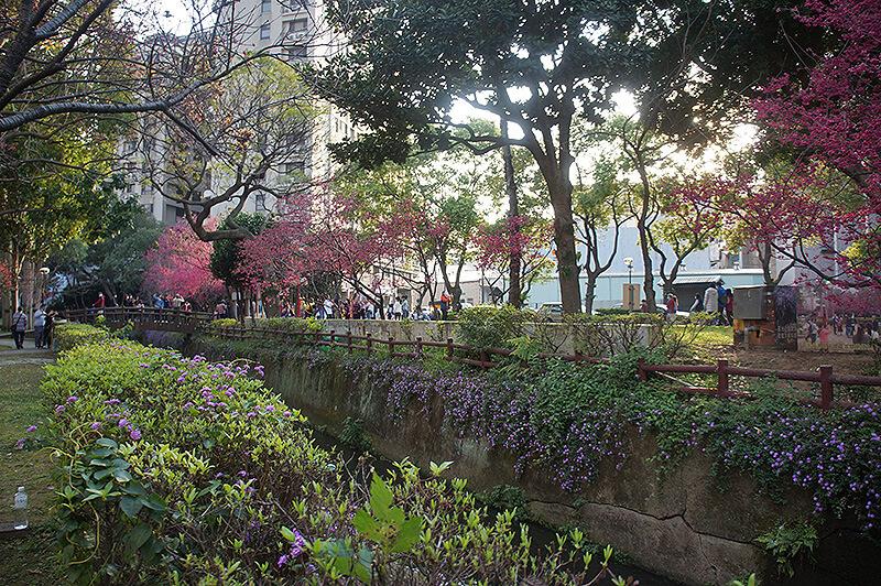 桃園莒光公園美美的河道櫻花。