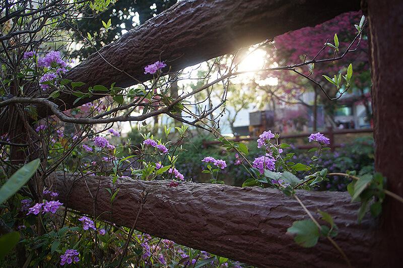 忍不住在夕陽魔幻時刻拍攝紫色小花特寫~