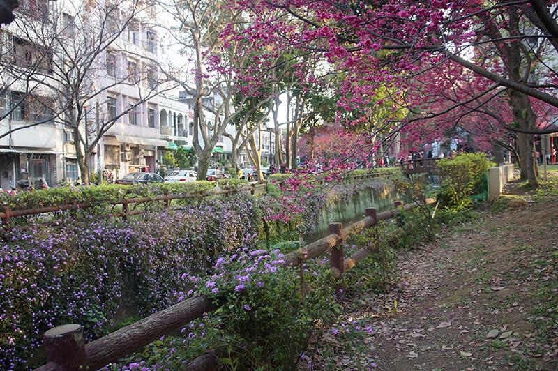 社區公園渠道櫻花。