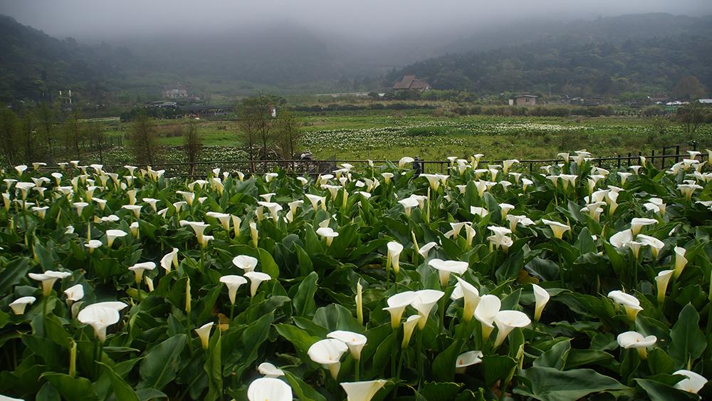 滿滿的海芋,竹子湖像仙境一樣。