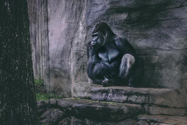 大猩猩,是相較獵豹更為穩健的選擇。