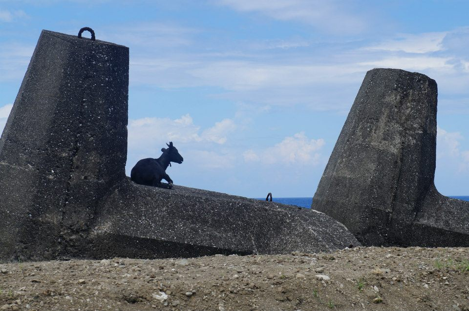 蘭嶼港邊就有很多山羊在看海唷!奔放的山羊是蘭嶼的特色之一!