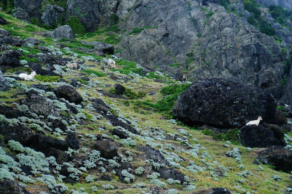 蘭嶼北海岸有好多的羊咩!超級可愛!!!